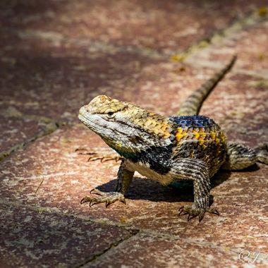 Lizard Standing His Ground