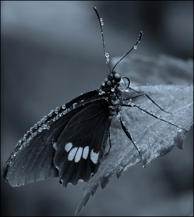 Arcas Cattleheart Butterfly In Black And White