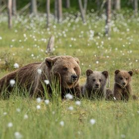 Kajani in Finland close ti Russian border. Brown bear with cubs