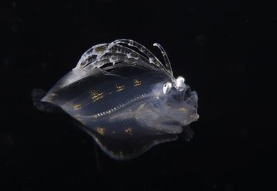 Flounder Cyclopsetta fimbriata 6-3-16-010