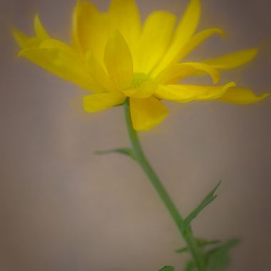 This mum appeared to be dancing! There is nothing like photographing a happy flower on a dark rainy day : )