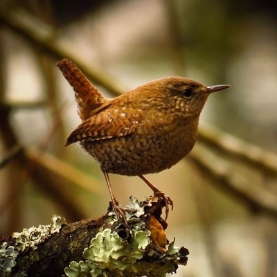 This tiny Winter Wren paused and posed in the posture they are so well known for.  #trailsend #winterwren #birding #birdphotography #birdwatching #wander #wetlands #woods #outthebackdoor  #backyardnature #birdsofinstagram #best_birds_of_world #pocket_bird