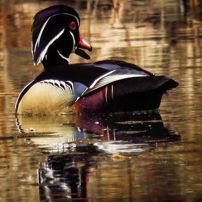 Male Wood Duck, wonderfully attired. Patience and persistence prevailed.  #trailsend #woodduck #birding #birdphotography #birdwatching #birdsofinstagram #wander #wetlands #outthebackdoor #backyardnature #pocket_birds #mybirdwatch #best_birds_of_world #bir