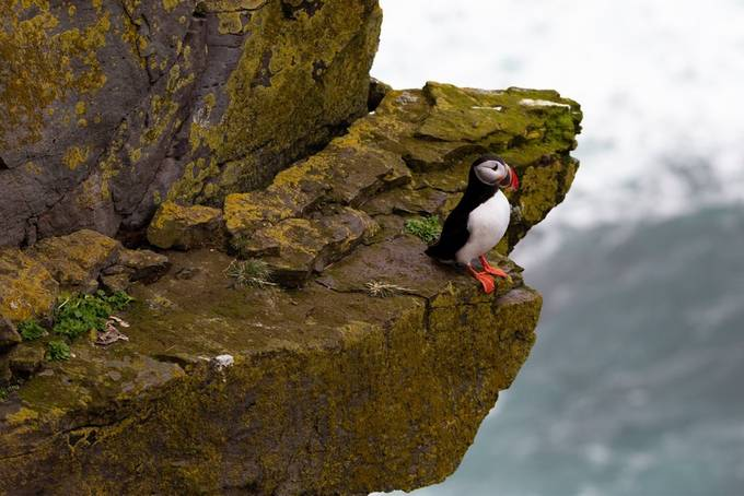 Puffins at Latrabjarg, Iceland by seanewest - Celebrating Earth Day Photo Contest 2019