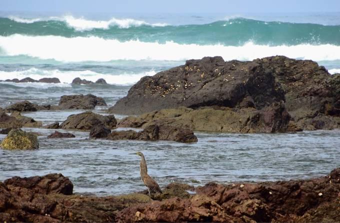 Tiger Heron Tide