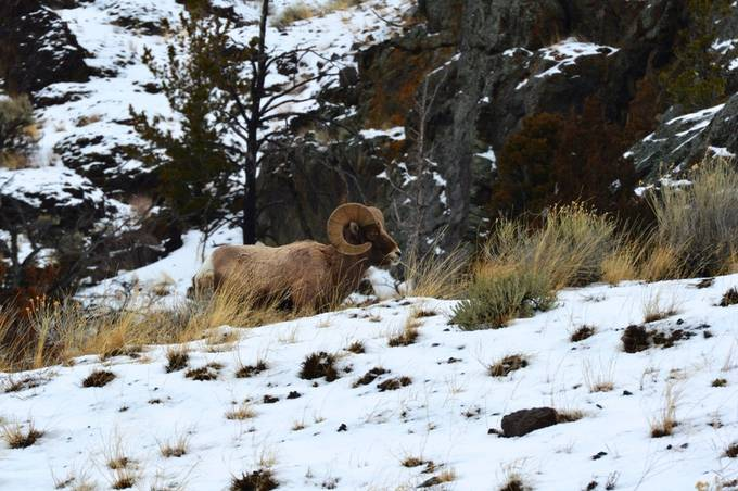 A Big Horn Sheep grazes near Yellowstone National Park.
