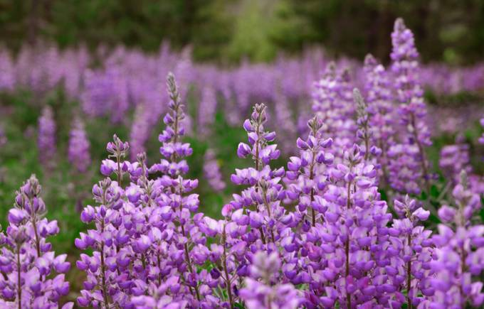 Low in the Lupine