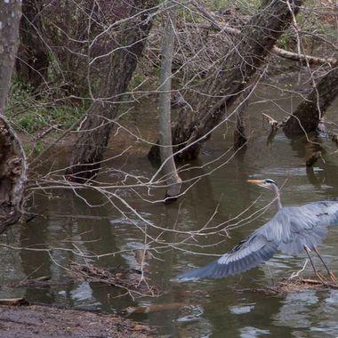 Great Blue Heron, G.W. Canal, MD - DSC_1275-2