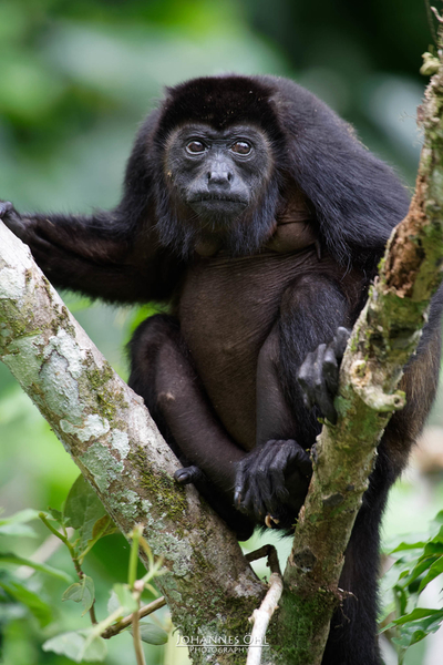 A female mantled howler (Alouatta palliata) is sitting on a branch fork.