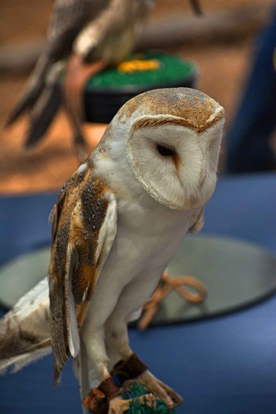 Barn Owl on display for Earth Day at Hays Nature Preserve, N. Alabama. Courtesy of Auburn University
