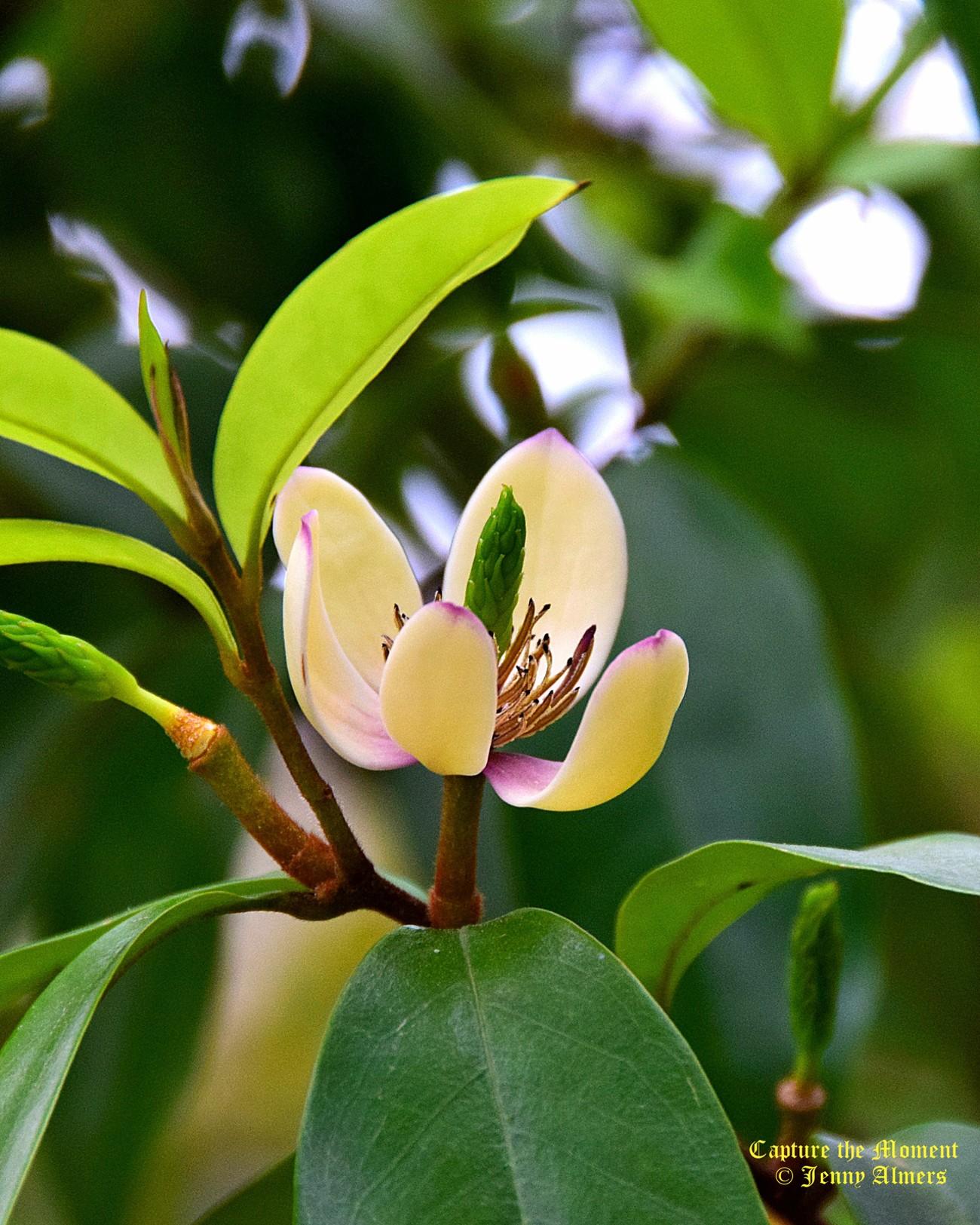 Banana Shrub Blossom Against the Sky