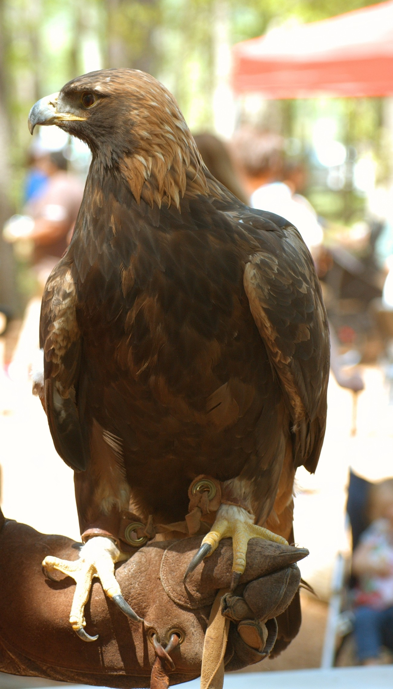 Rehabbing Golden Eagle on display at Hates Nature Preserve on Earth Day. Thanks to Auburn University for the show