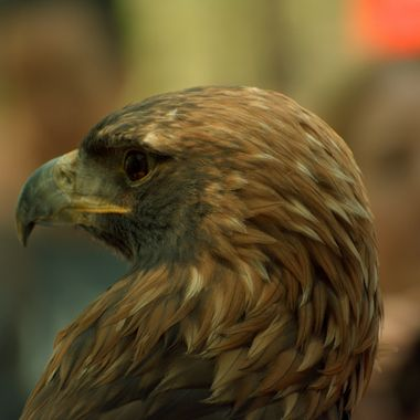 Golden Eagle from Auburn University, on display at Earth Day