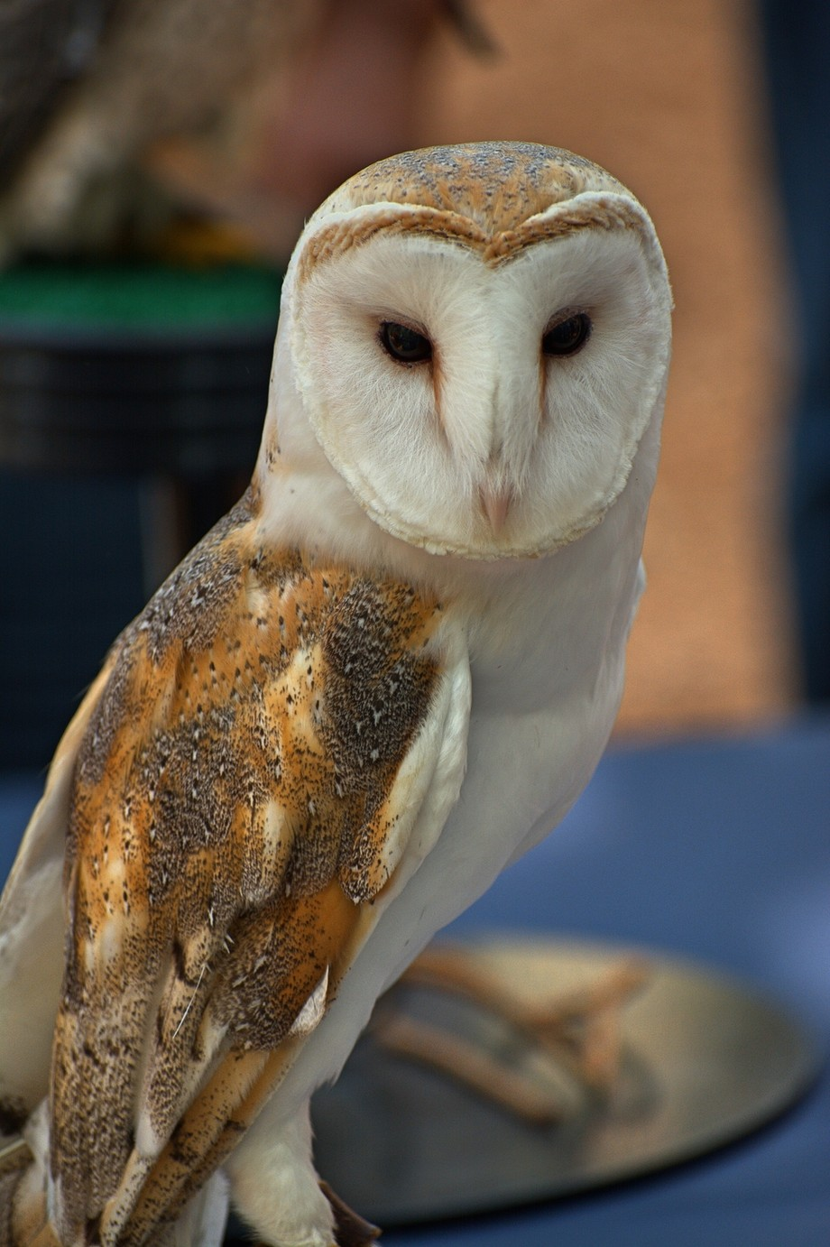 Finally got my Owl shot, Captive Barn Owl at Earth Day celebration