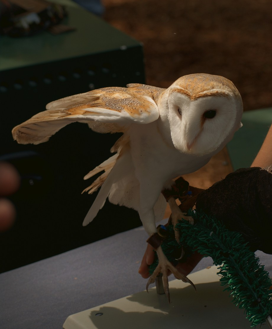 Barn Owl from Auburn University on display at Earth Day
