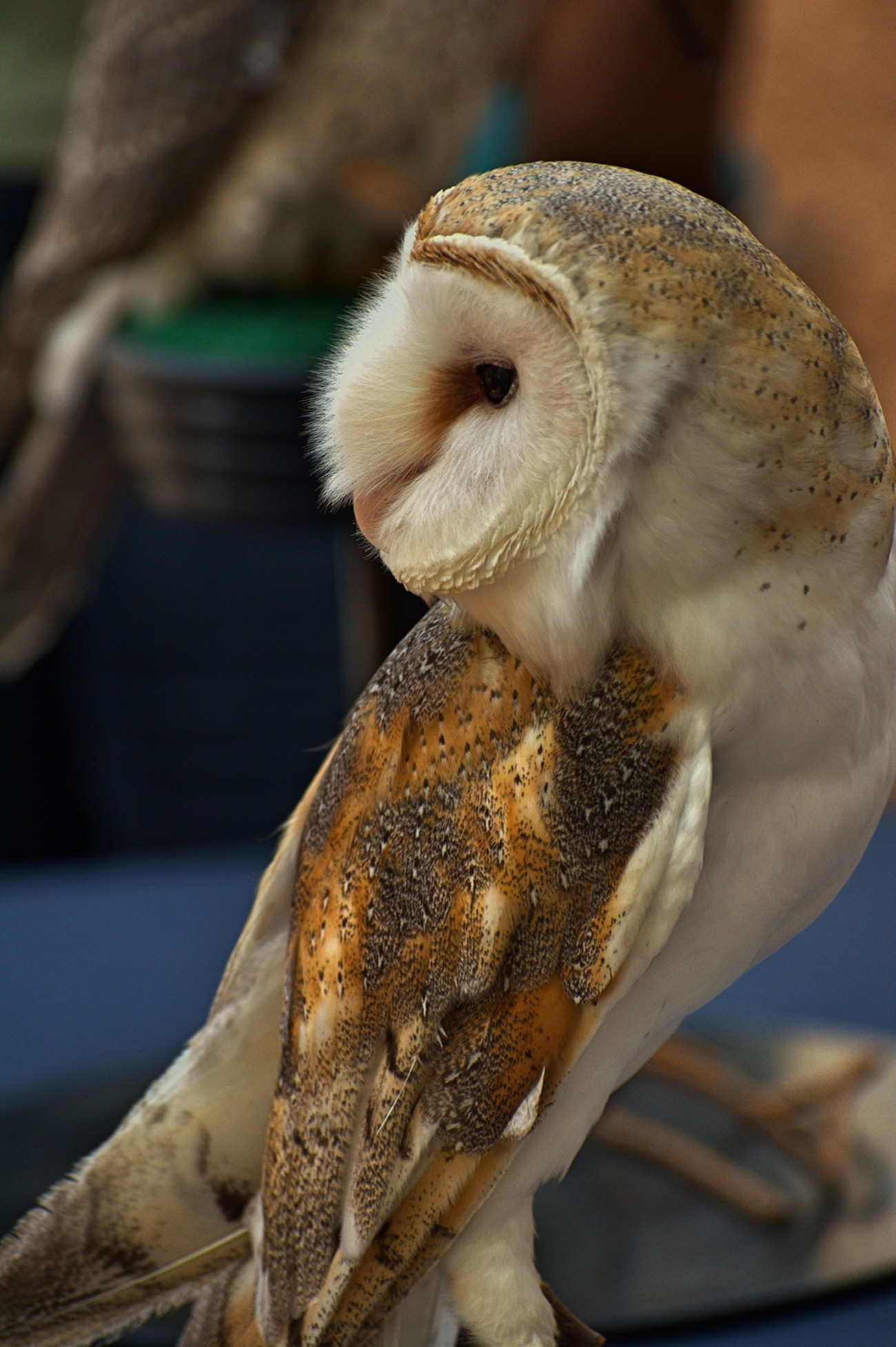 Magnificent Barn Owl