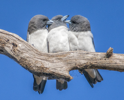 White Breasted Wood Swallows