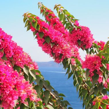 Flowers block the view of the ocean, Oia Greece