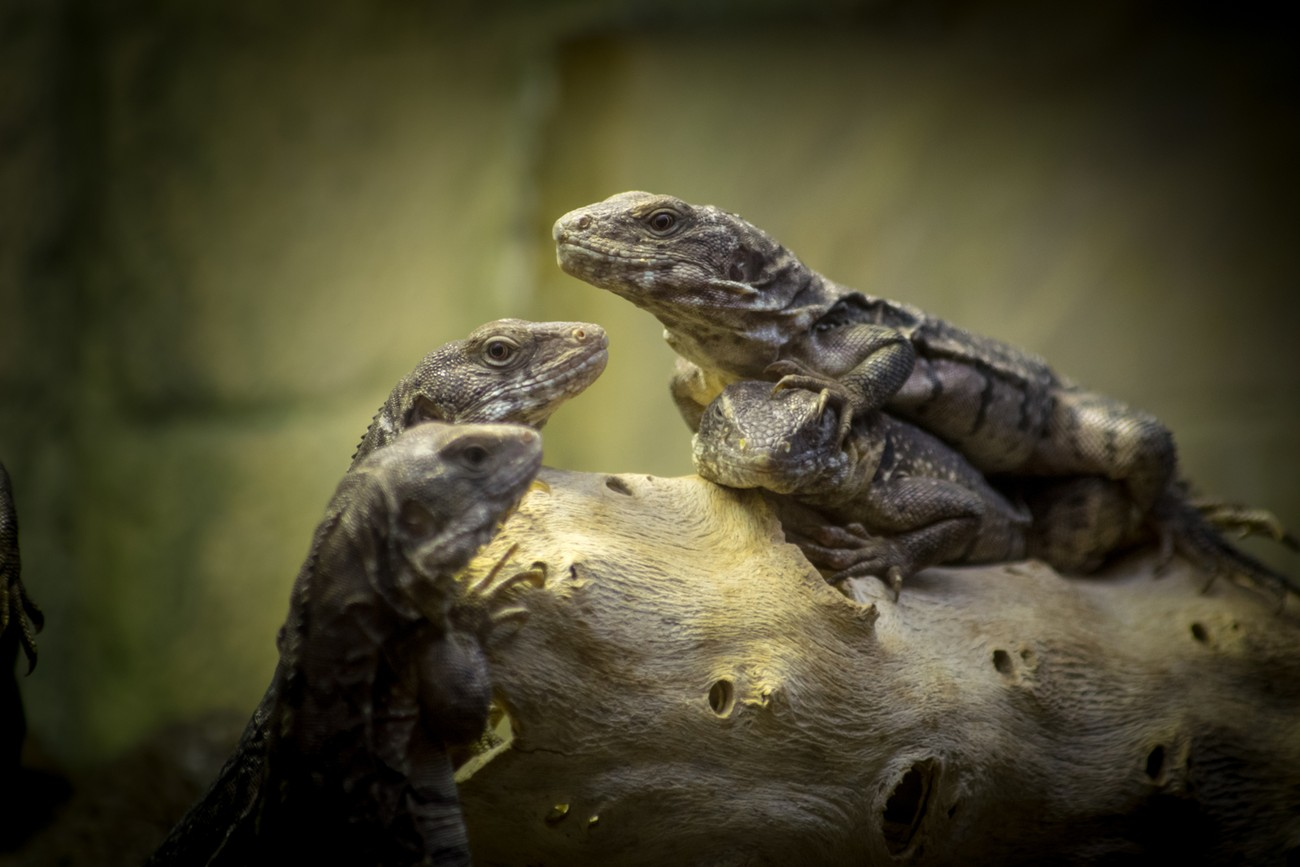 a family of lizards relaxing on a log
