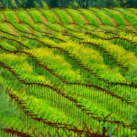 After the grape season has ended, mustard has been planted in between the rows to become the next crop harvest.
