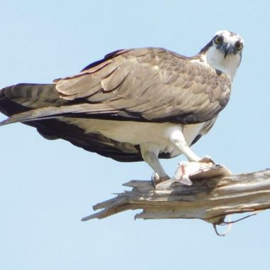The  Osprey caught his fish and flew up into the tree to eat it!