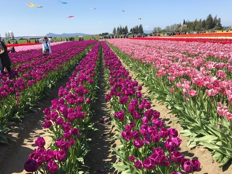 Tulip farm/Tulip festival. Near Seattle, WA