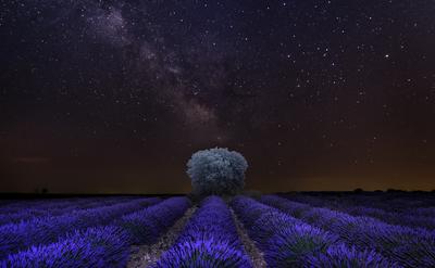 Lavender tree