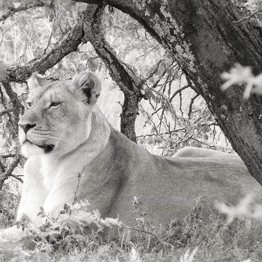 Lioness on B & W