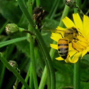 Honey bee at work, IMG_4162