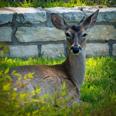 A fury neighbor taking it easy in the early morning shade near Lake Travis, Texas