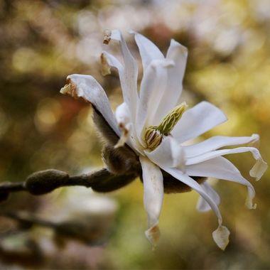 Delicate Magnolia blossom