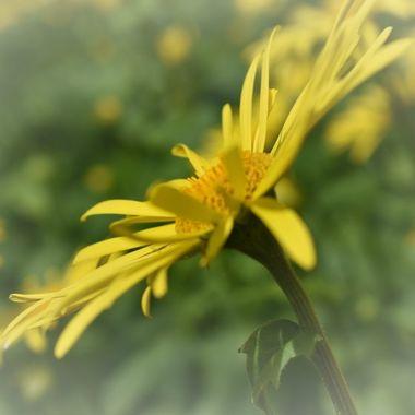 Cheery daisies