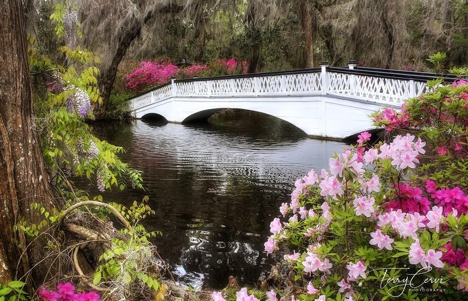 Spring-time at the Magnolia Plantation, Charleston, South Carolina