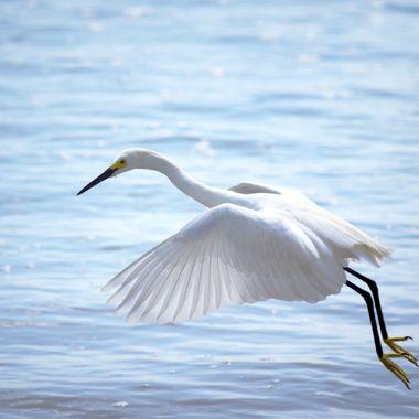 White Heron at Port Orange Beach