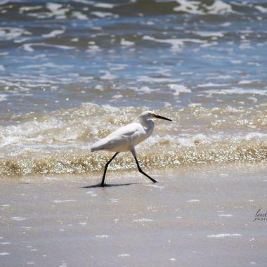 White Heron Struttin at Port Orange Beach