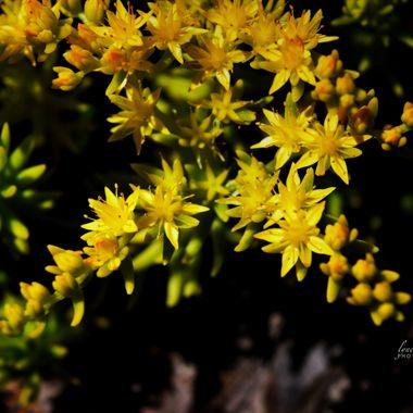 Angel Sedum Blossoms