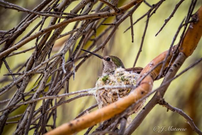 Hummingbird In Her Nest