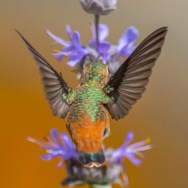 Alan Hummingbird-1812 butt shot