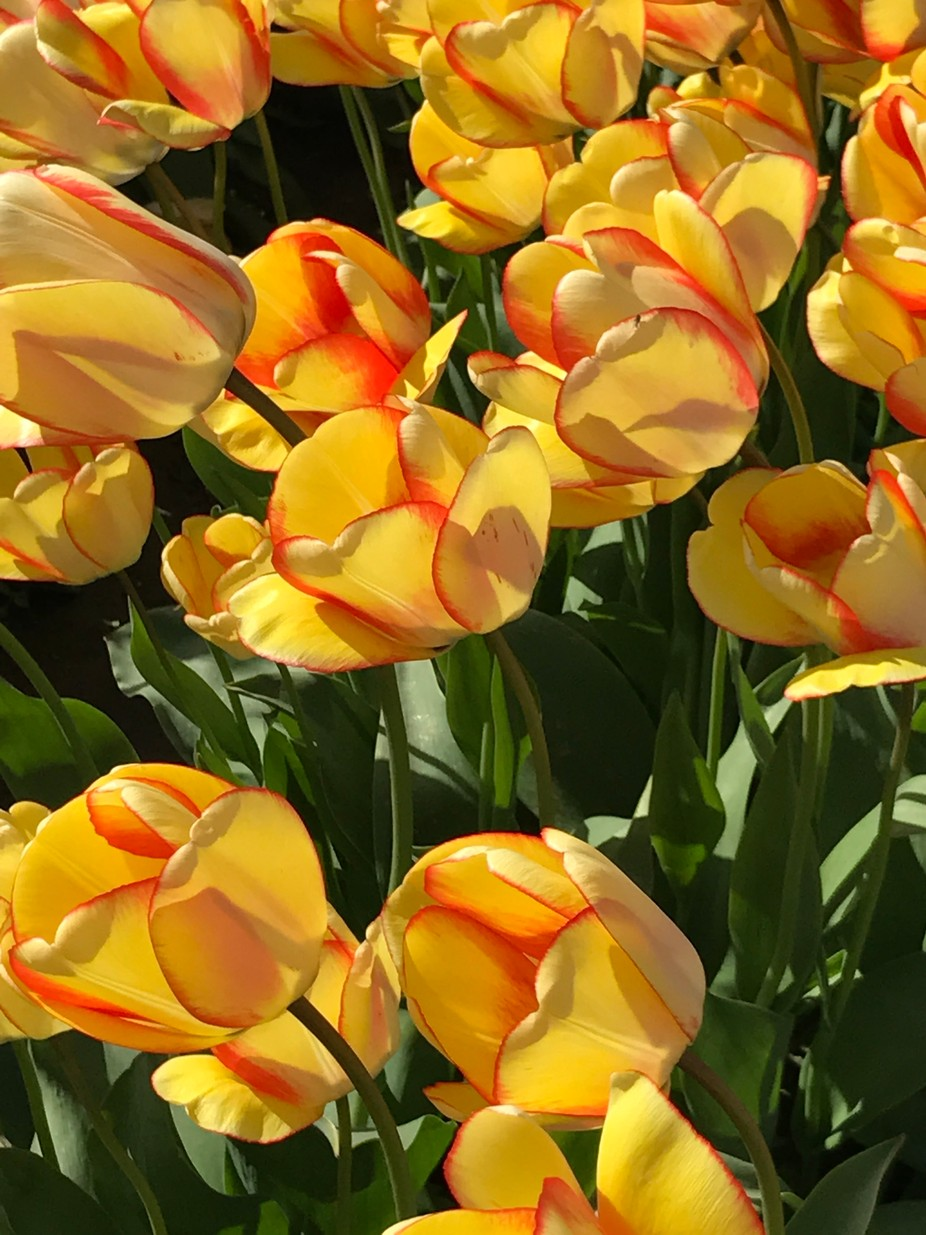 Yellow tulips with red border_7364