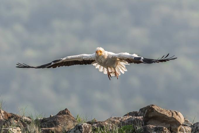 Egyptian Vulture by flexito3 - It is Yellow Photo Contest
