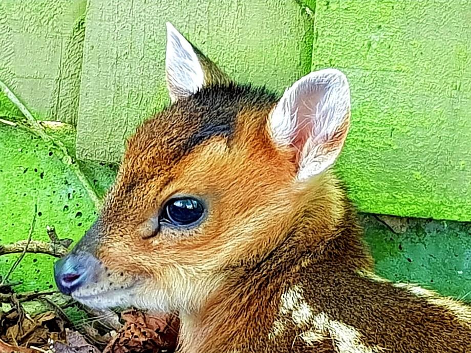 Baby muntjac deer