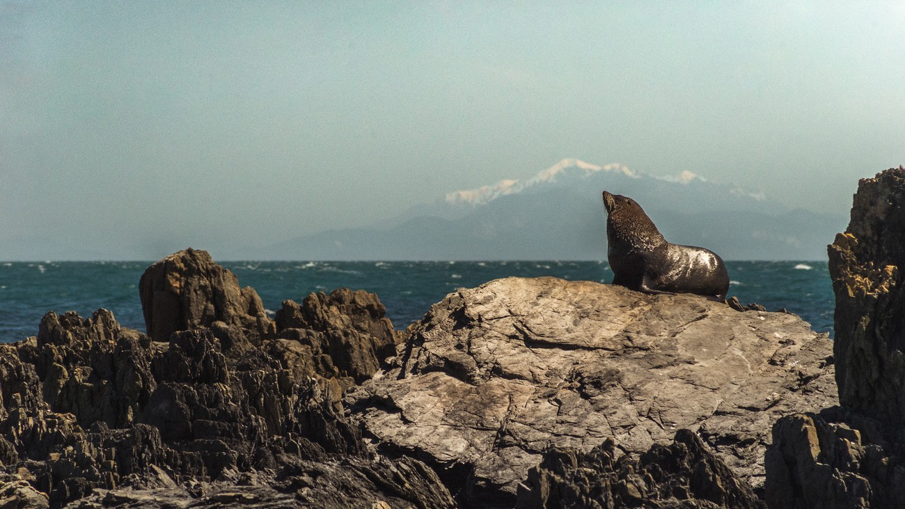 This shot of a seal is taken in Red rocks at the very south of the north island of New Zealand, and the snowy mountain in the background is actually the south island of New Zealand.