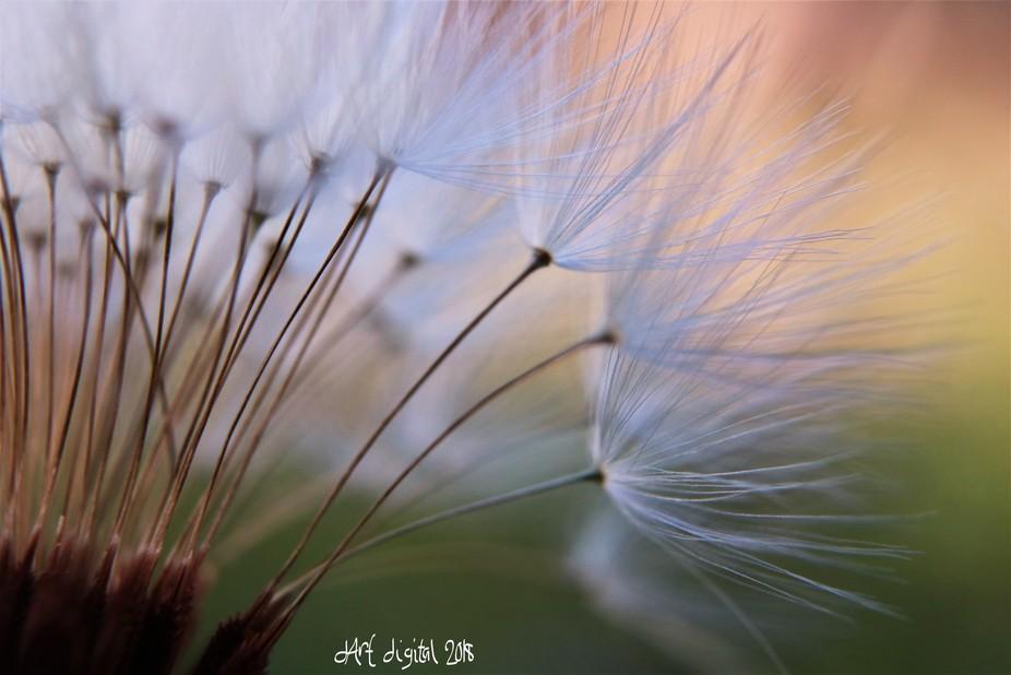 New Camera, new macros! I love to make macros of dandelion seedlings!