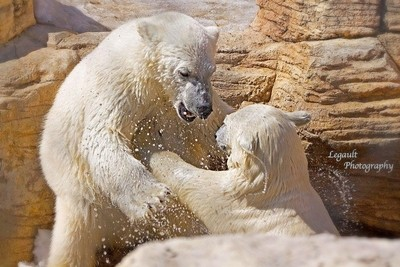 Taken at assinboine zoo in winnipeg . Caught them playing