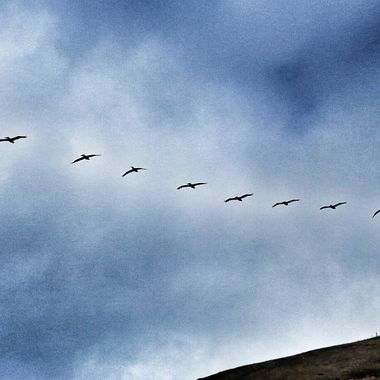 Soaring majestic brown pelicans over the Channel Islands!