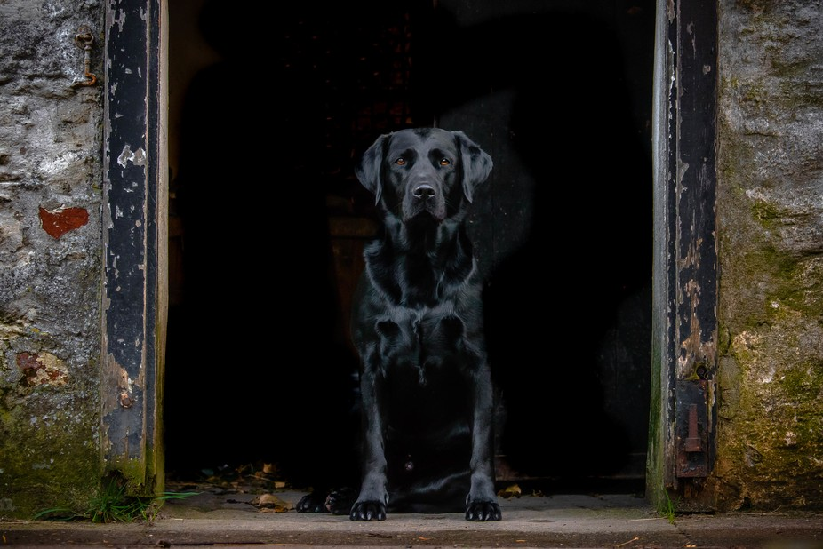 Labrador in a dorway