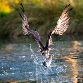 I set myself a goal at the start of 2017 to get a shot of an Osprey taking a fish out of the water.On my second attempt i got my shots from ONE d...