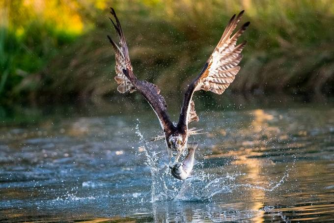 Osprey fishing 1 at  Hornmill 2017 by Cinderellastory - Image Of The Month Photo Contest Vol 32