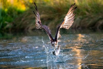 Osprey fishing 1 at  Hornmill 2017