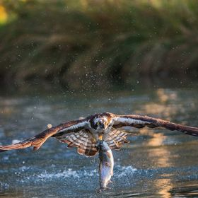 I set myself a goal of getting a photo of an Osprey taking a fish out of the water at the start of 2017. On my second attempt i got my shots. Pho...